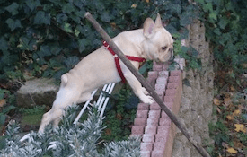Dog over brick fence