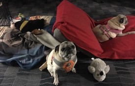 Pugs on Pillows
